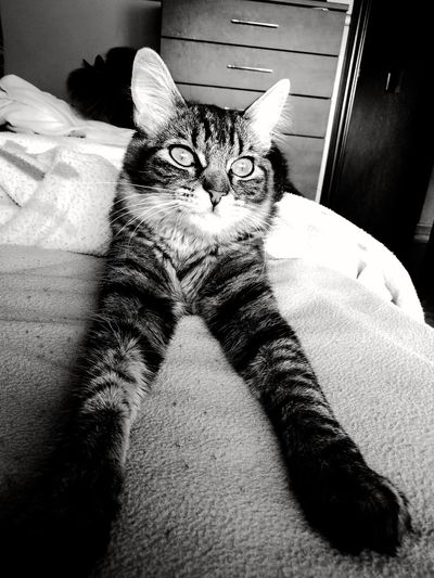 The sphinx Pets Domestic Cat Feline Domestic Animals One Animal Animal Themes