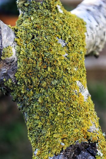 Nature Photography Close-up Focus On Foreground Tree Lichen Textured  Tree Trunk No People Bark Lichen Lichen On A Tree Lichen In Macro Lichens Lichen Beauty Lichen Pattern EyeEm EyeEm Best Shots EyeEm Gallery EyeEm Nature Lover Tree And Lichen Green Green Color Green Lichen Macro Macro Photography
