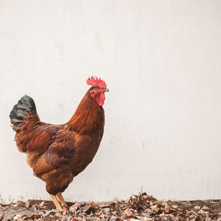 Rhode Island Red rooster against a vintage painted wall Animal Animal Themes Bird Chicken Chicken - Bird Cockerel Day Domestic Domestic Animals Farm Animal Livestock Male Animal Mammal Nature No People One Animal Pets Rhode Island Red Rooster Vertebrate Vintage Wall - Building Feature
