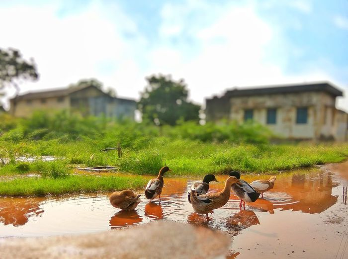 Be like a duck. Calm on the surface, But always paddling like the dickens Underneath. Duck Duckphotography Animal Eyemphotography Eyem Best Shots Eyem Gallery EyeEmBestPics Eyem Best Edits Eyemnaturelover Picoftheday Photo Photography Photooftheday Picoftheday Mobilephotography RedmiNote3Camera Snapseed Focus On Foreground Agriculture Outdoors Building Exterior Cloud - Sky Tree Nature Grass Sky Irrigation Equipment Puddle Built Structure Animal Themes