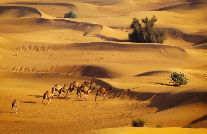 Scenic View Of Camels In Desert