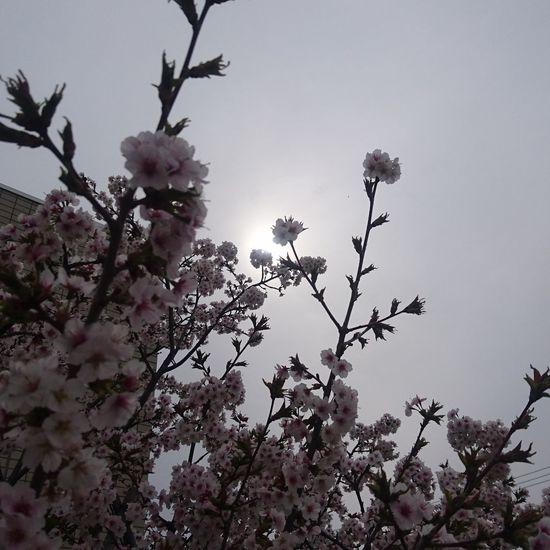 桜の木 まだ楽しめそう 病院の植え込み