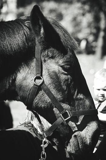 Close-up Horse Working Animal Livestock