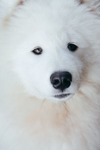 Animal Head  Animal Nose Animal Themes Close-up Day Dog Domestic Animals Indoors  Looking At Camera Mammal No People One Animal Pets Portrait Samoyed White Color