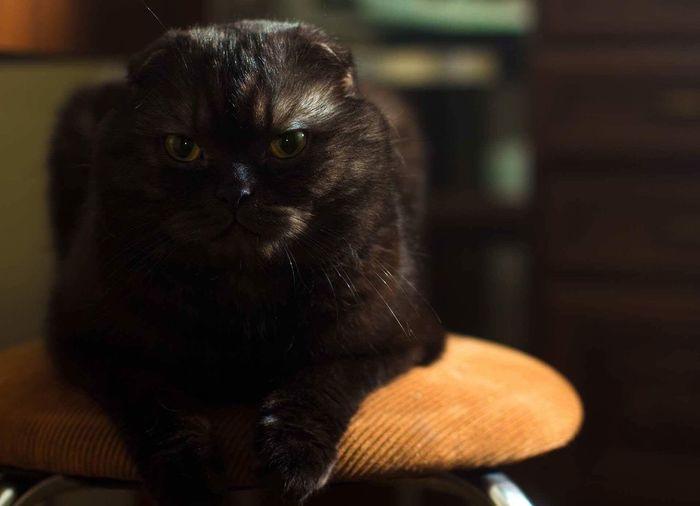 Catsagram Cat Scottishfold Wildcat First Eyeem Photo