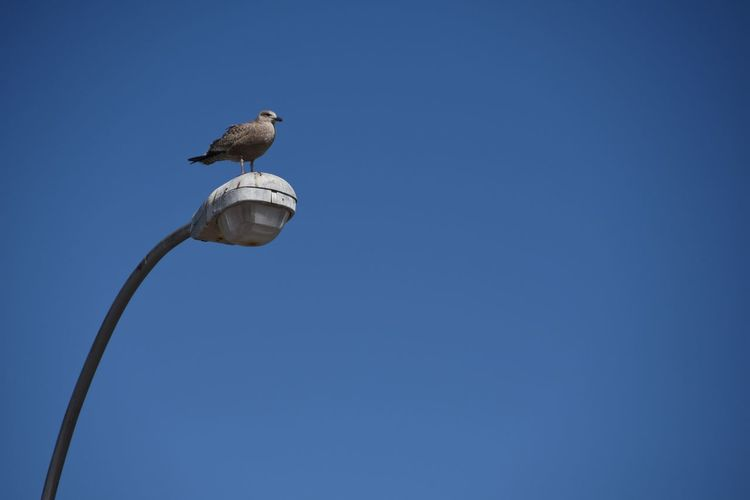 Low Angle View Of Seagull On Street Light Against Clear Sky