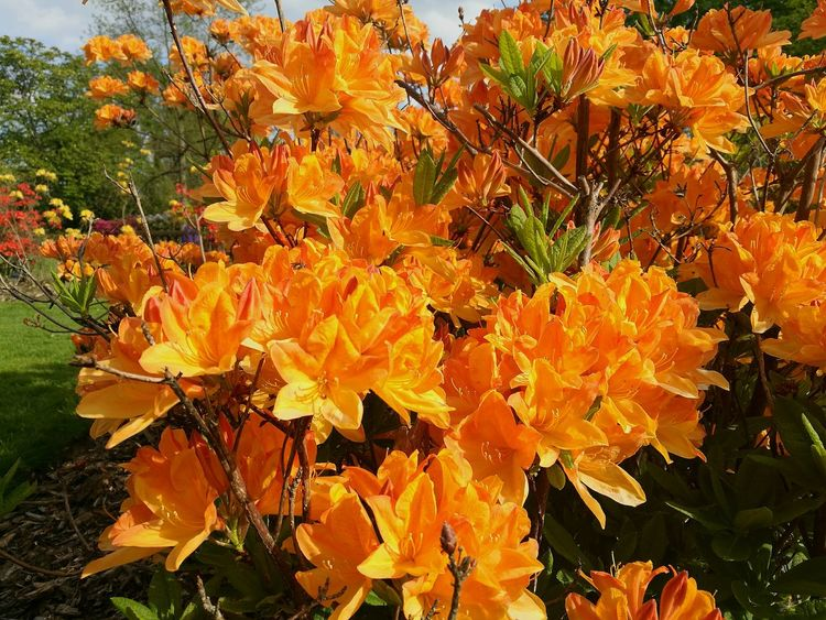 Rhododendron Azaleas Azalea Smartphonephotography Bright Orange Color Bright Orange Springtime Spring Nature Beauty In Nature Growth Flower Outdoors Close-up Bright Day Sunlit Sun On A Flower Sunlit Flower Flowers,Plants & Garden HuaweiP9 Synnyday Sunny Sunny Afternoon Sunny Spring Day