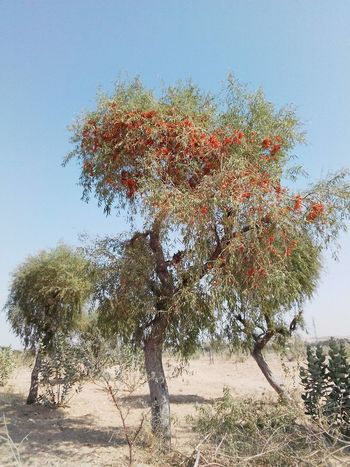 Desert landscape Rajasthan India Desert Landscape Colourful Rajasthan Landscape_photography Desrt Scenes Trees Tree Sky Day Growth Outdoors Nature No People Close-up