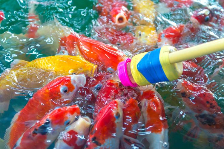 Baby bottle feeding koi carp in pond