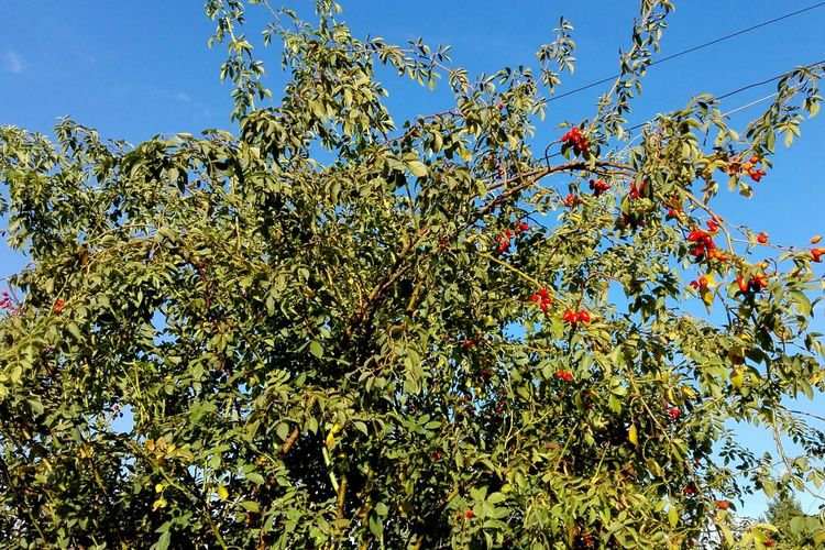 Low Angle View Nature Sky Outdoors Tree No People Beauty In Nature Branch Close-up Plant WOLFZUACHiV Nature No Person Eyeem Market Huaweiphotography WOLFZUACHiV Photography On Market Huawei Photography Ionita Veronica Veronica Ionita Wolfzuachiv WOLFZUACHiV Photos Rose Haw Rose Hip Rose Hep