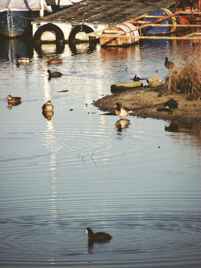 Ada Ciganlija Art Beauty Of Serbia Belgrade,Serbia Bird Duck Nature Photography Water