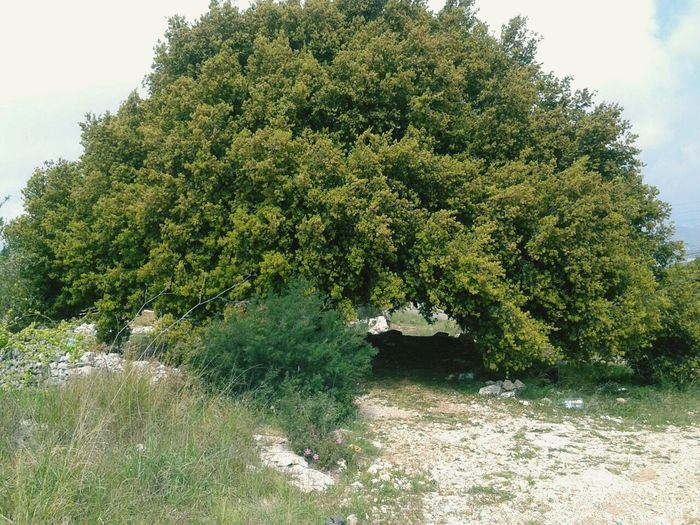 Green Nature Tree VeryOldTree Millionyearsago Photography 🌳🌳