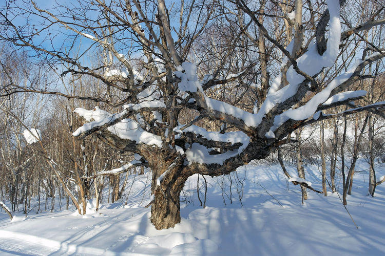 The big old tree Beauty In Nature Cold Temperature Day Nature No People Old Tree Outdoors Scenics Sky Snow Tranquility Tree Weather Winter