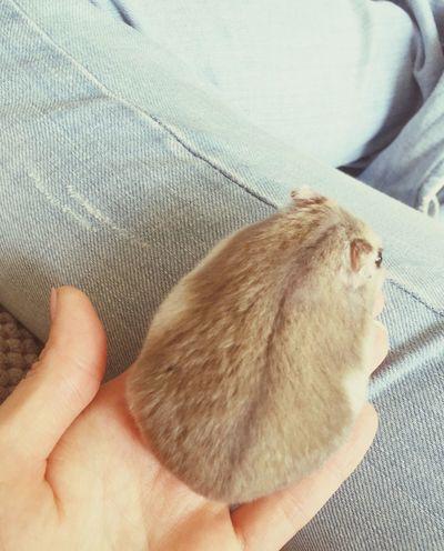Dwarf Hamster Hamster ♡ Hamster Love Little Man