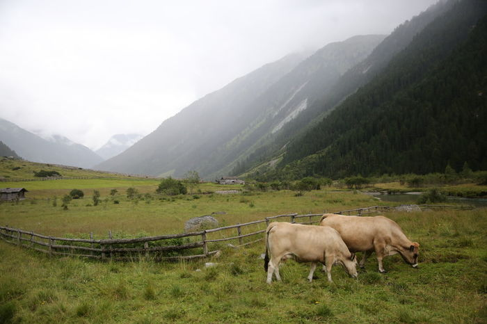 Zillertal, cows in the mountains Australia Beauty In Nature Countryside Cow Day Fence Green Color Growth Krimml Mist Misterious Mistery Mountain Nature No People Outdoors S Scenics Sky Stone Swimming Two Waterfall White Zinnia