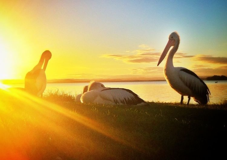 Pelicans #sunset #sun #clouds #skylovers #sky #nature #beautifulinnature #naturalbeauty #photography #landscape Water_collection Perfect Day For Photography