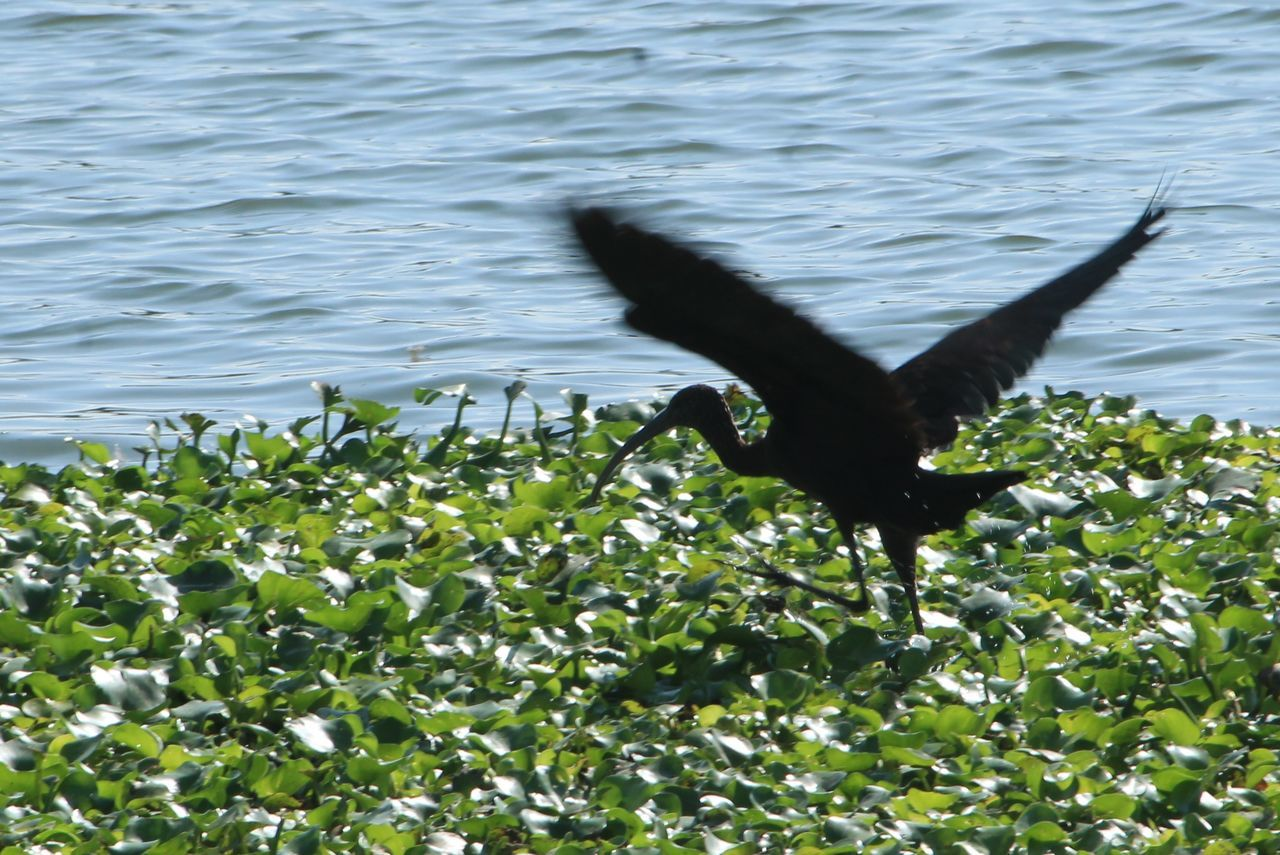 one animal, animal themes, animals in the wild, water, nature, no people, outdoors, day, black color, lake, animal wildlife, spread wings, bird, beauty in nature, close-up, mammal