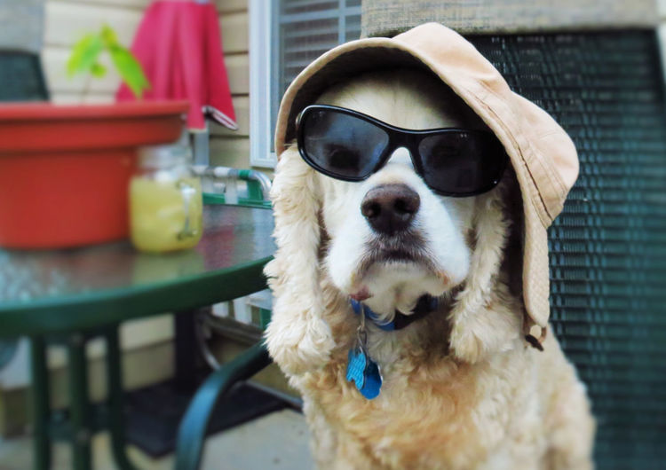Close-up of dog wearing sunglasses and cap