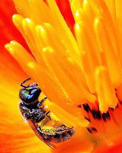 California Poppy / Golden Poppy The flower and the bee 1) Fotofanatics_flowers_ 2) Rainbow_petals 3) Awesome_florals 4) Captures_flowers 5) Flowerstalking 6) Flowersandmacro 7) Splendid_flowers 8) Ptk_flowers 9) Nikonnofilter 0) Loves_flowers 1) Ig_flowers 2) Quintaflowers 3) 9vaga9 4) Ponyfony_flowers 5) Petal_perfection 6) Rsa_macro 7) Electric_macro 8) Macroworld_tr 9) Global_nature_macro 0) Bugs_are_us 1) Macro_club 2) Macroclique 3) Pocket_macro 4) Ig_bagus 5) Resourcemag 6) macro_mood 7) macro_holic 8) tv_depthoffield 9) tv_dof 0) 9vaga_macro9