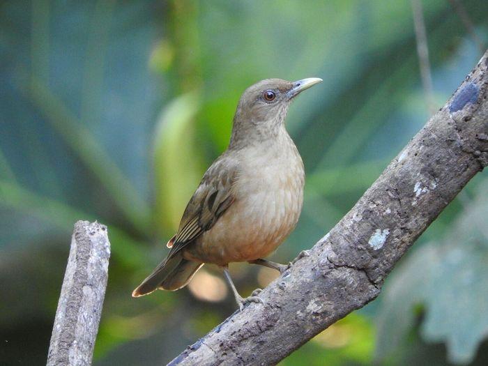 Nuesta hermosa ave nacional, costa Rica