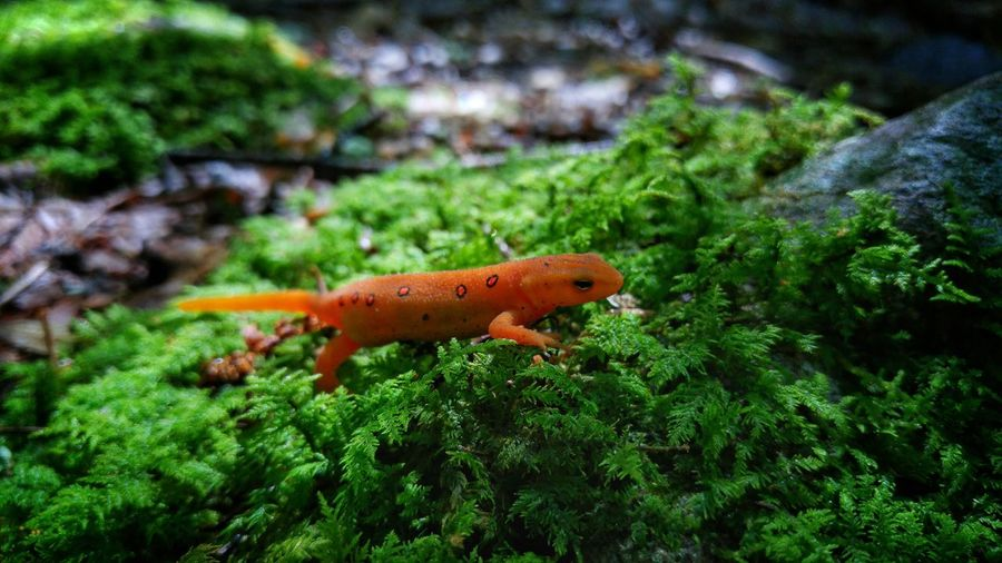 Red Eft. Green Color One Animal Animals In The Wild Animal Themes Animal Wildlife Plant Outdoors No People Nature Day Close-up Full Length Beauty In Nature Wild ForestAmphibian Orange Color Newt Red Eft Beauty In Nature Pennsylvania Timwegmanphotography Summer LG G4 Macro Photography N