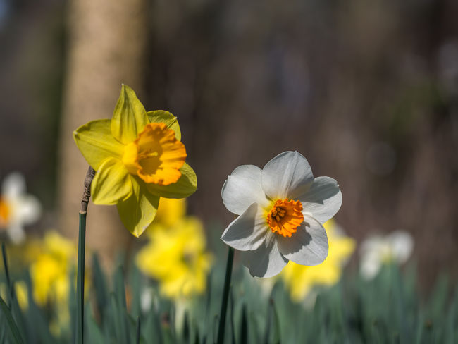 daffodil Flower In The Sun Nature Springtime Flowers Beauty In Nature Botanical Close-up Daffodil Daffodil Flower Daffodils In The Sun Day Eastern Edithnerophotography Flora Flower Flower Head Flower In The Garden Fragility Freshness Growth Nature No People Outdoors Petal Plant Springtime