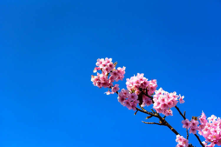 Flowering Plant Flower Pink Color Sky Freshness Beauty In Nature Plant Low Angle View Fragility Blue Growth Clear Sky Nature Vulnerability  Day Copy Space Branch Blossom Springtime Tree No People Outdoors Cherry Blossom Cherry Tree Kawazu-zakura