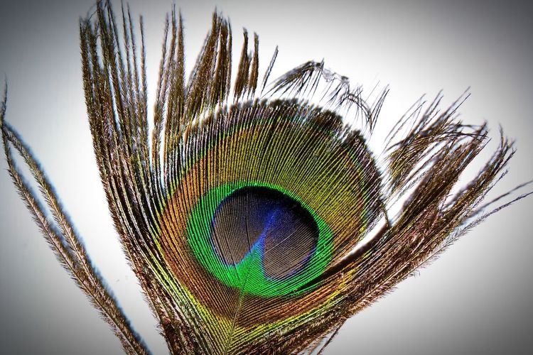 No People White Background Close-up Day Peacock Feather Peacock Feather  Indoors  Redminote4photography Redmi EyeEmNewHere