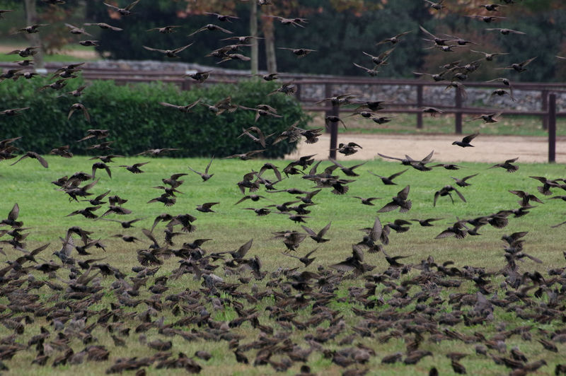 Flock Of Birds Animal Animal Themes Animal Wildlife Beauty In Nature Flock Of Birds On The Grass Flock Of Birds, Movement, Flock Of Starlings Large Group Of Animals Nature Starlings