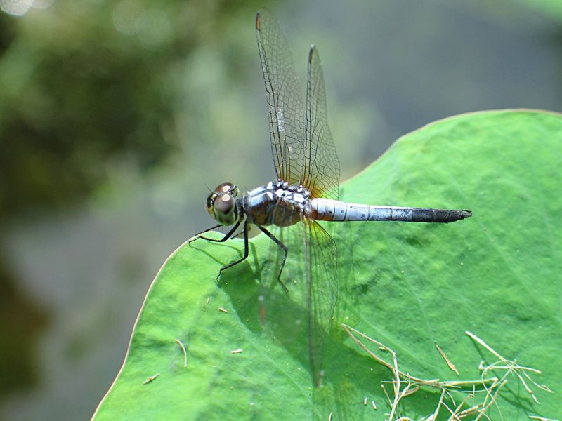 Dragonfly Insect Animal Themes Animals In The Wild One Animal Green Color Leaf Outdoors Animal Wildlife Focus On Foreground No People Close-up Day Nature