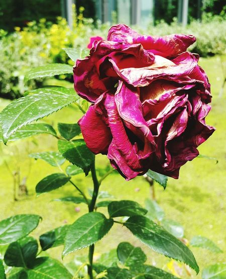 Enjoying Life The Withering Rose The Beauty Last Beauty In The Garden