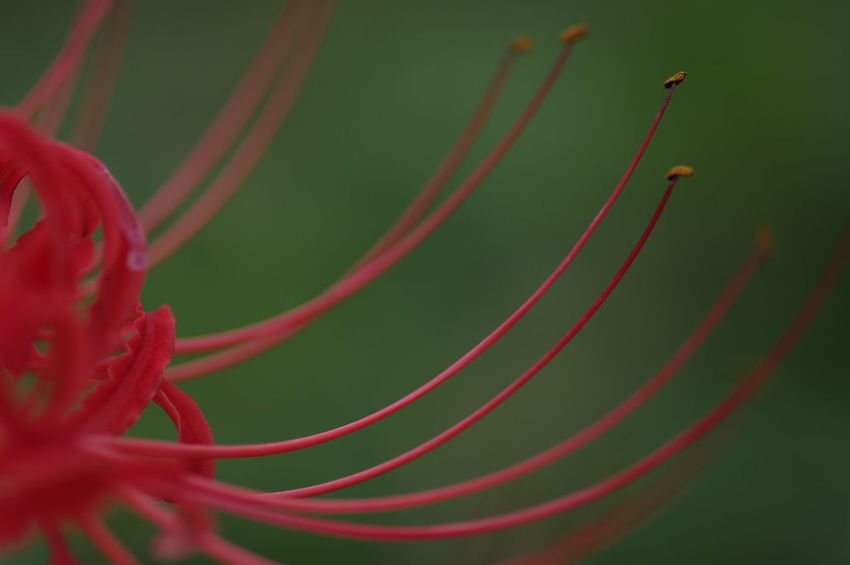 Cluster Amaryllis Red Flower Nature Close-up Beauty In Nature Flower Head 彼岸花 ひがんばな 曼珠沙華