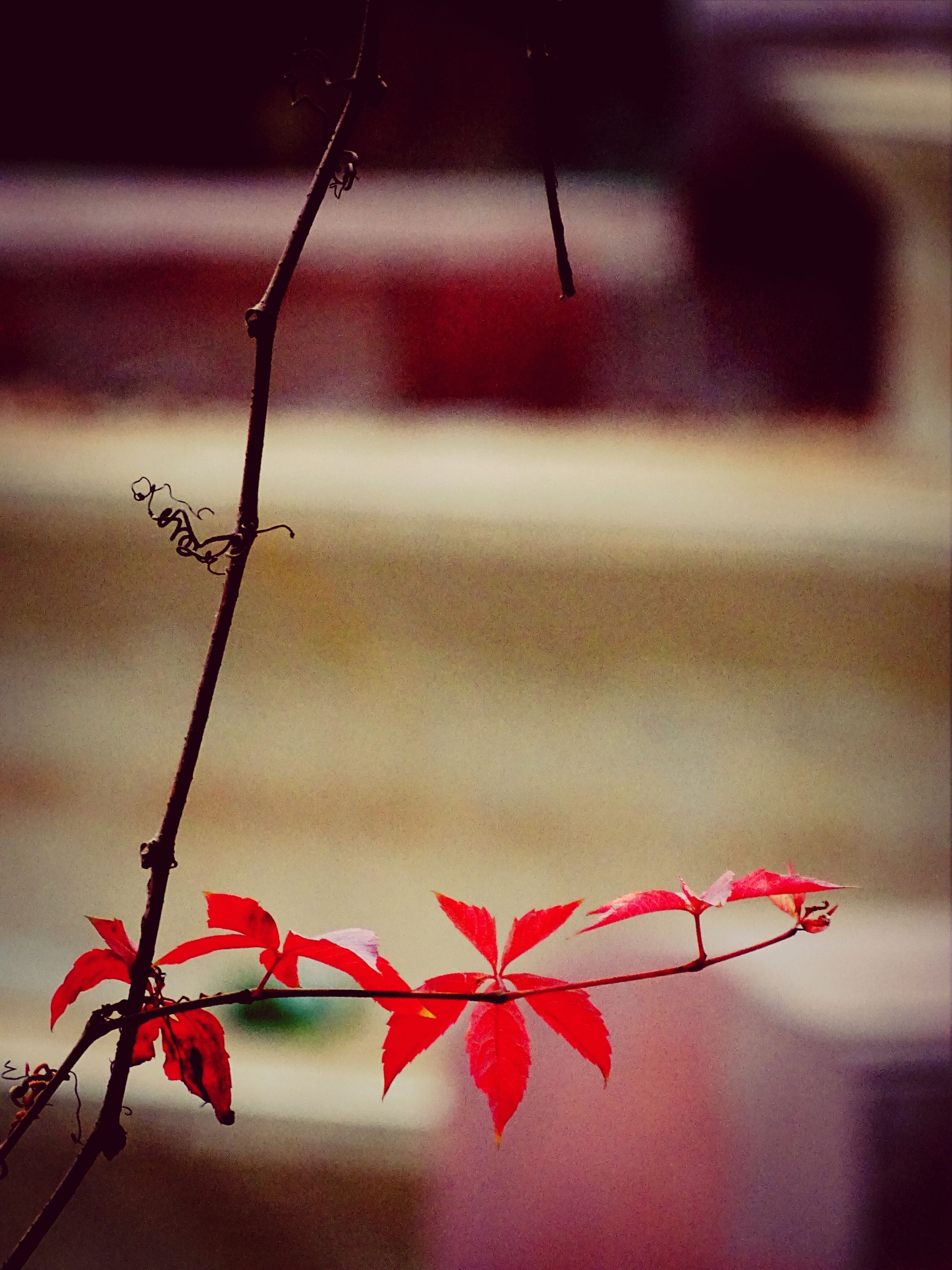 red, focus on foreground, flower, close-up, stem, branch, growth, plant, twig, fragility, freshness, nature, leaf, hanging, selective focus, beauty in nature, wall - building feature, day, outdoors