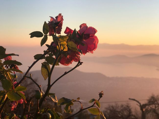Flowers & A View, Sunset time EyeEm Selects Nature Flower Beauty In Nature Growth Plant Sky Outdoors Scenics Tranquility Flower Head Landscape Sunset