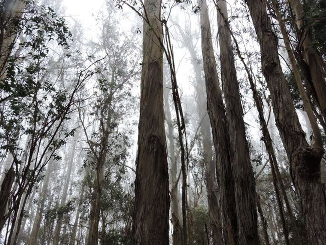The area where fog comes and goes.. Tree Tree Trunk Forest Nature Low Angle View No People Tranquility Beauty In Nature Foggy Fog_collection Growth EyeEmbestshots Island Life The Great Outdoors - 2017 EyeEm Awards Travel Destinations EyeEmNewHere EyeEm Best Shots - Nature Neighborhood Map