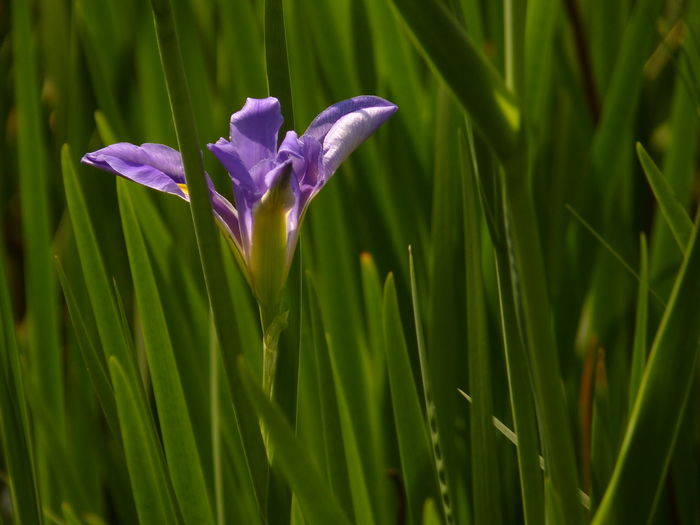 iris - plant Selective Focus Nature Flower Leaf Day Field Outdoors Purple Springtime Plant Iris Land Growth Fragility Petal Freshness Close-up Beauty In Nature No People Vulnerability  Green Color Inflorescence Blade Of Grass Flowering Plant Flower Head Iris - Plant Aleq Vulnerability
