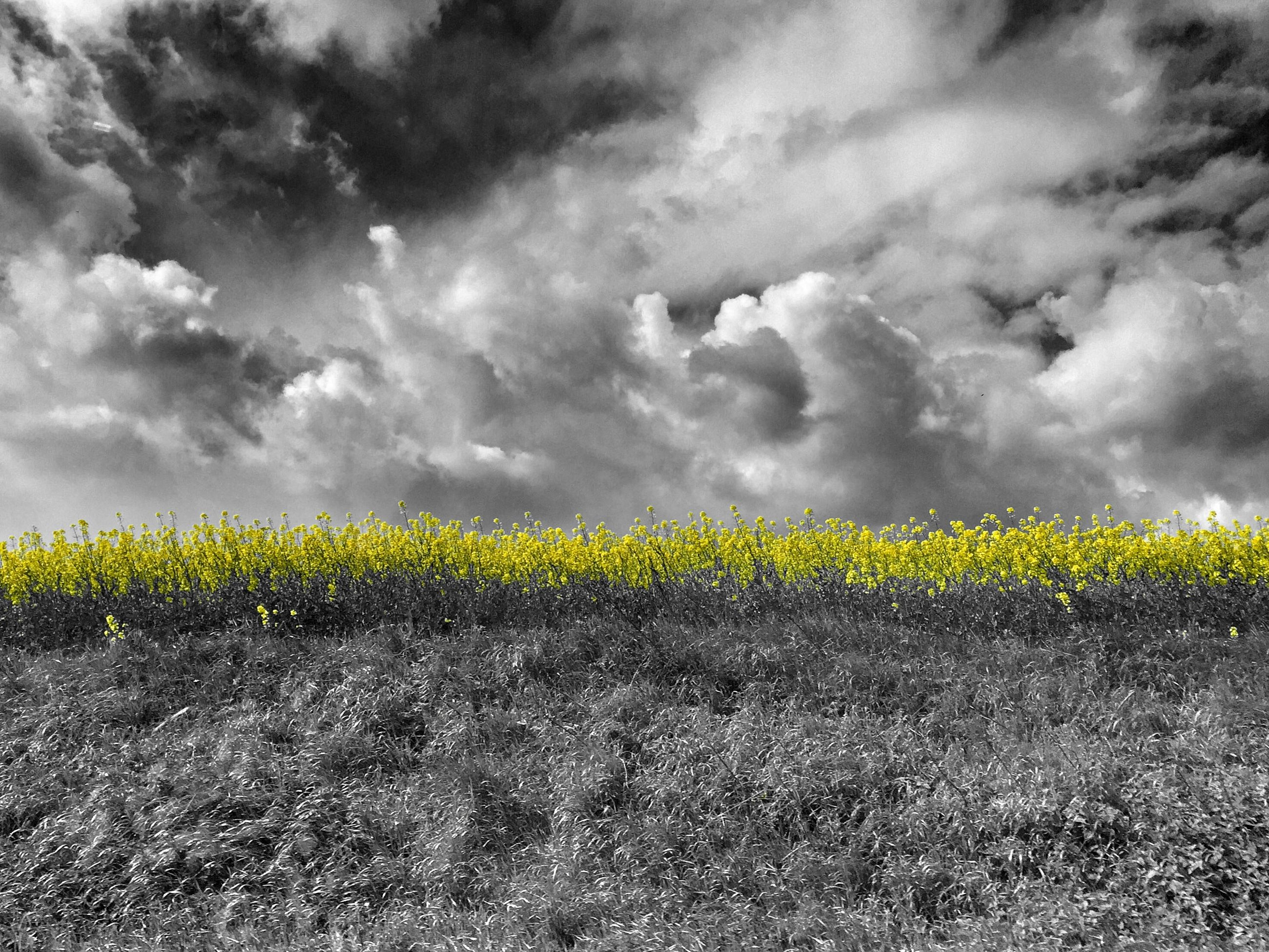 yellow, sky, field, agriculture, cloud - sky, rural scene, cloudy, beauty in nature, landscape, growth, flower, tranquil scene, nature, farm, tranquility, crop, scenics, freshness, cloud, overcast