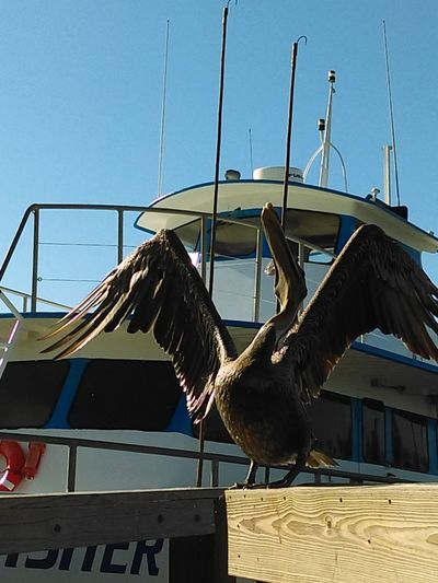Brown Pelican Spread Wings Acting Silly Gulf Of Mexico In The Harbor