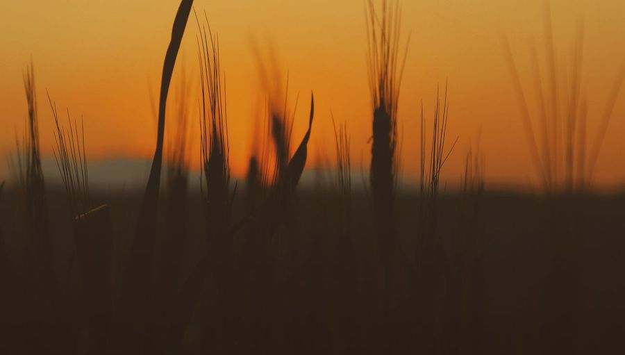 Wheat Field Countryside Agriculture Silhouettes Taking Photos Feeling Creative OpenEdit EyeEm Best Shots Light And Shadow EyeEm Nature Lover Nature Low Angle View Plants Rural Scene Sunset Wheat Yellow