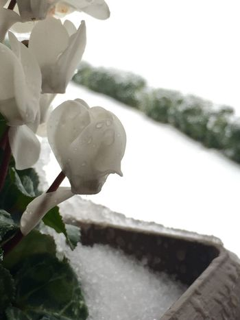 Cold Temperature Ice Winter Nature Growth Plant Flower Beauty In Nature Freshness Close-up Day Outdoors Fragility No People Petal Flower Head