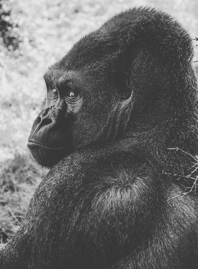 Portrait of gorilla on field