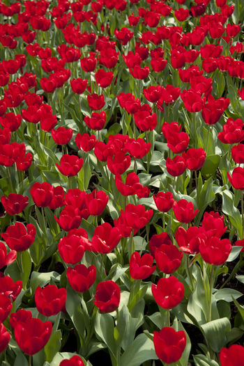 Beauty In Nature Blooming Botany Day Flower Flower Head Freshness Growth In Bloom Nature No People Outdoors Petal Plant Tulip Tulips Tulips Flowers Tulips🌷