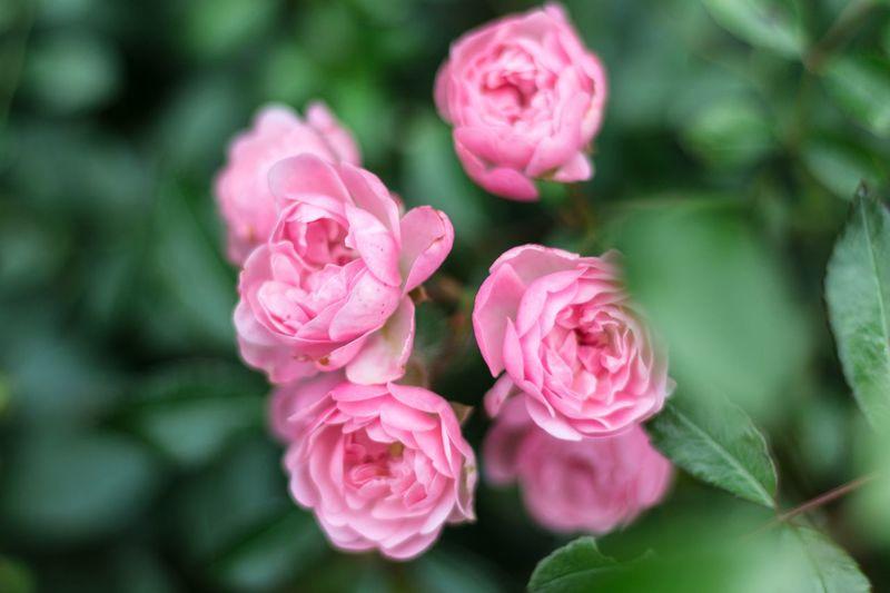 Flower Beauty In Nature Rose - Flower Nature Plant Garten Pflanzen Blüte Blumen Millennial Pink