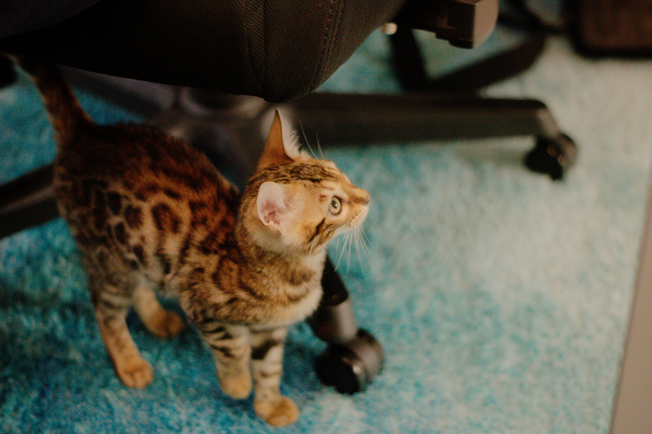 cat, pet, animal themes, animal, mammal, domestic animals, domestic cat, feline, one animal, felidae, small to medium-sized cats, kitten, indoors, no people, whiskers, focus on foreground, carnivore, full length
