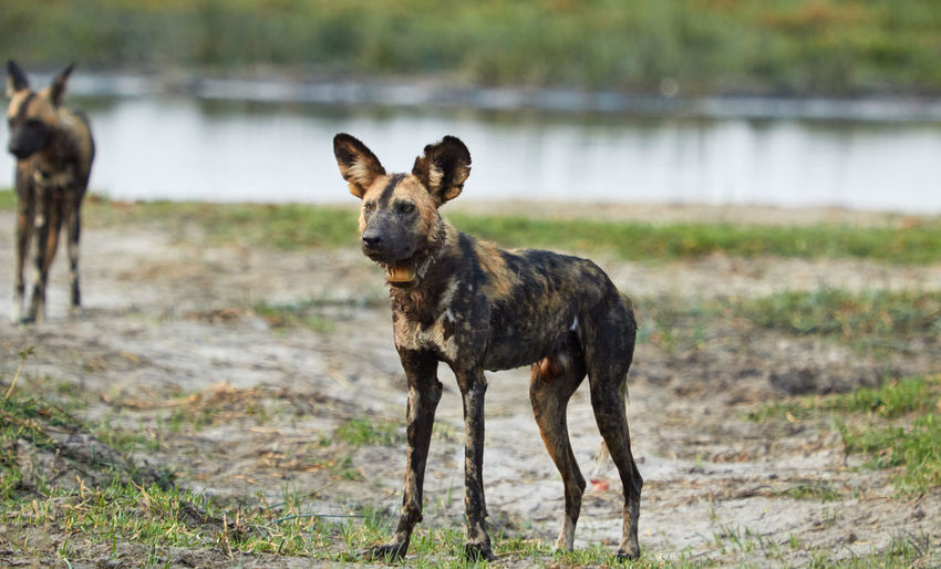 African Wild Dog in Botswana, an endangered species African Botswana Endangered Species Research Wild Dog Animal Themes Animals In The Wild Collar Day Khwai Mammal Moremi Nature No People One Animal Outdoors Summer Water