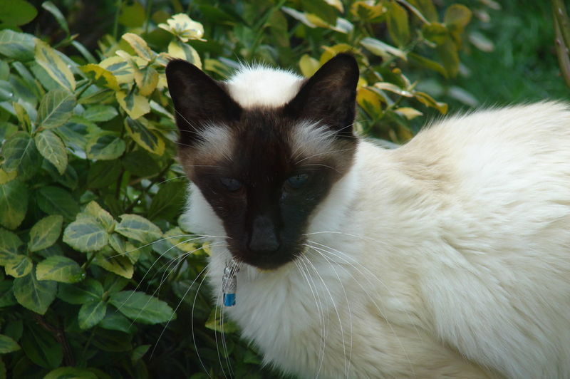 Domestic Cat Feline Balinese Cats
