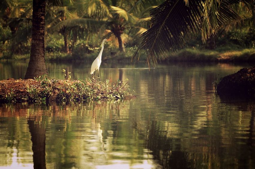 EyeEm Best Shots Scenic Backwaters Beauty In Nature Bird Day Growth Heron Kerala Lake Nature No People Outdoors Palm Tree Plant Reflection Scenics Tranquility Tree Water