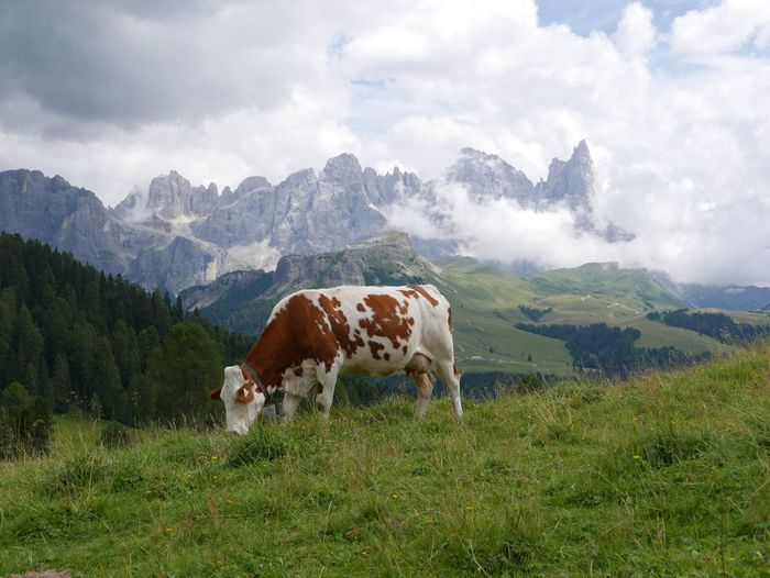 Cow grazing on field against mountains