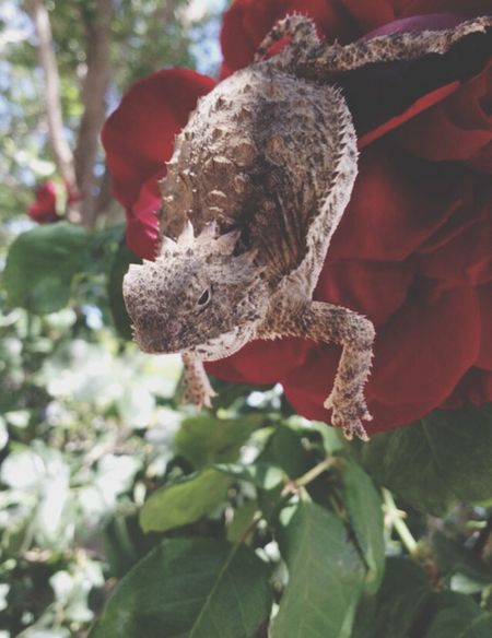 Horney Toad! Animals Reptiles Red Rose Follow4follow