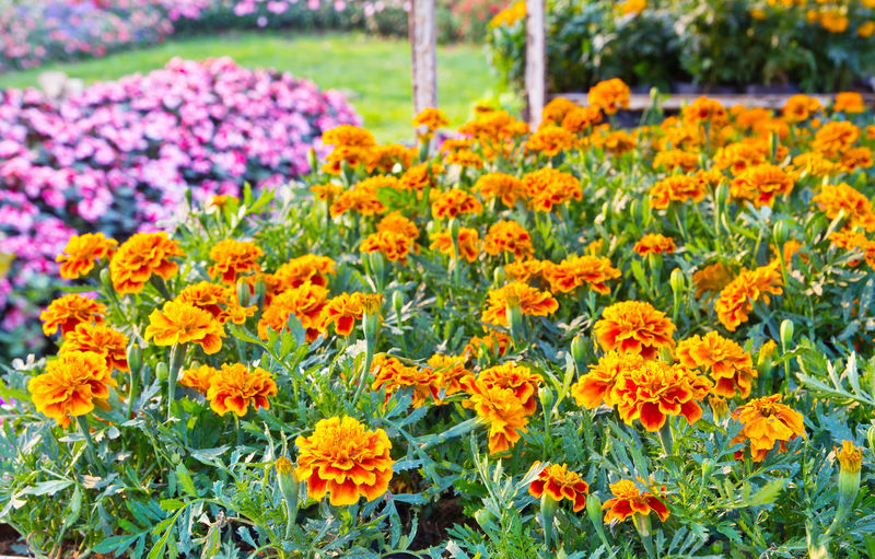 Fresh yellow flowers in garden
